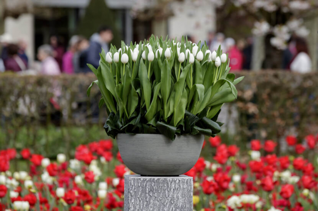 The Don White Tulip, christened by Dutch Prime Minister Rutte in 2019. Photo: Laurens Lindhout.